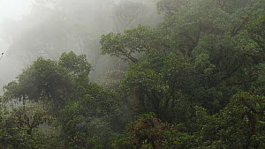 Mist blowing through cloudforest, Mindo, Ecuador, 2019.  -  Morley Read