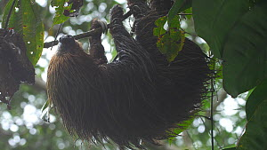 Linne's two toed sloth (Choloepus didactylus) hangs motionless in a Cecropia tree in the rain, Orellana Province, Ecuador.  -  Morley Read