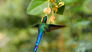 Slow motion shot of a Violet tailed sylph hummingbird (Aglaiocercus coelestis) drinking nectar from a Heliconia flower, Mindo, Ecuador.  -  Morley Read