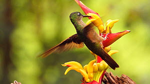 Slow motion shot of a Rufous tailed hummingbird (Amazilia tzacatl) drinking nectar from a Heliconia flower, Mindo, Ecuador.  -  Morley Read