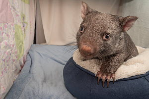 A 9-month-old orphaned and rescued female bare-nosed wombat (Vomabtus ursinus) called Beatrice, in her cot. Temporarily captive, until old enough to be released. Preston, Victoria, Australia. July, 20...  -  Doug Gimesy