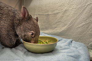 A 9-month-old orphaned and rescued female bare-nosed wombat (Vomabtus ursinus) called Beatrice, in her cot, feeding on some grass and dirt. Temporarily captive, until old enough to be released. Presto...  -  Doug Gimesy