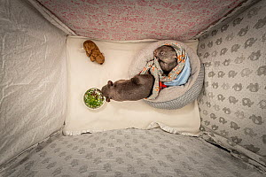 �Editorial use only' One 8 and one 9-month-old male orphaned and rescued baby bare-nosed wombat (Vomabtus ursinus) - named Bronson and Landon -in their cot, snuffling dirt and chewing grass that has...  -  Doug Gimesy