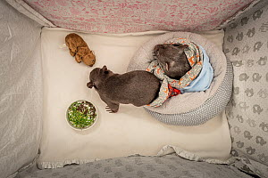 Two orphaned and rescued male baby bare-nosed wombats (Vombatus ursinus) named 'Bronson' and 'Landon' snuffling dirt and chewing grass that has been placed in their cot. Temporarily ca...  -  Doug Gimesy