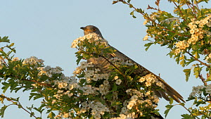 Male European cuckoo (Cuculus canorus) perched on a bush, takes off, Bedfordshire, England, UK, May.  -  Brian Bevan