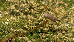 Male European cuckoo (Cuculus canorus) calling to another male from branch, flies off, Bedfordshire, England, UK, May.  -  Brian Bevan