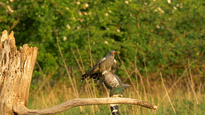 Male European cuckoo (Cuculus canorus) trying to mate with a decoy female, used as part of a scientific study, Bedfordshire, England, UK, May.  -  Brian Bevan