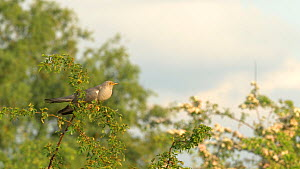 Male European cuckoo (Cuculus canorus) calling from branch, showing throat expansion, flies off, Bedfordshire, England, UK, May.  -  Brian Bevan