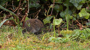 Two Bank voles (Myodes glareolus) emerging from a hedge and feeding, Wareham Forest, Dorset, England, UK, May.  -  Mick Jenner