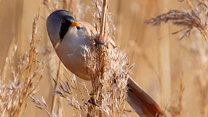 Male Bearded tit (Panurus biarmicus) feeding on phragmites seeds, Hampshire, England, UK, January.  -  Mick Jenner