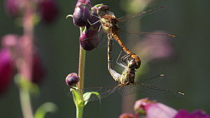 Pair of Common darter dragonflies (Sympetrum striolatum) mating, West Sussex, England, UK, May.  -  Mick Jenner