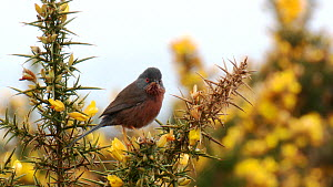 Dartford warbler (Sylvia undata) singing from a gorse bush, Dorset, England, UK, April.  -  Mick Jenner
