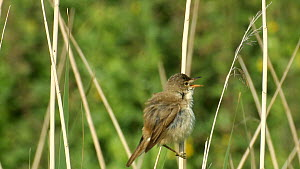 Reed Warbler (Acrocephalus scirpaceus) perched on a reed stem and singing, England, UK, May.  -  Mick Jenner