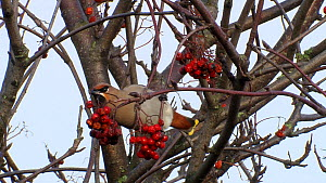 Waxwing (Bombycilla garrulus) feeding on berries, West Sussex, England, UK, January.  -  Mick Jenner
