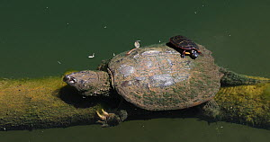 Common snapping turtle (Chelydra serpentina) with a Painted turtle (Chrysemys picta) feeding on algae on its shell, Maryland, USA, May.  -  John Cancalosi