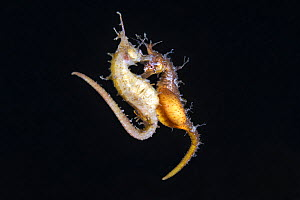 Korean seahorses (Hippocampus haema) engaged in spawning. The lighter-coloured female on the left is depositing eggs into the brooding pouch of the male (right). Kumamoto Prefecture, Kyushu, Japan.  -  Tony Wu