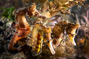 Korean seahorses (Hippocampus haema), male on left with two egg-laden females competing to deposit eggs in his brood pouch. Kumamoto Prefecture, Kyushu, Japan.  -  Tony Wu