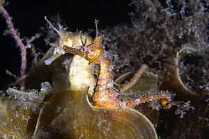 A pair of Korean seahorses (Hippocampus haema) engaged in unusual post-mating courtship. Male in foreground, female behind. Kumamoto Prefecture, Kyushu, Japan.  -  Tony Wu