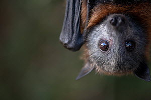Portrait of a young rescued Grey-headed Flying-fox (Pteropus poliocephalus) called Dinky.? Taken in captivity in controlled conditions under the supervision of registered wildlife carers.? Black Rock,...  -  Doug Gimesy