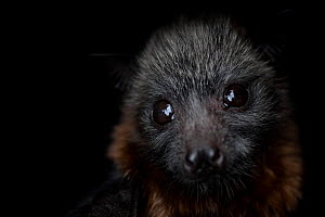 Portrait of a female rescued Grey-headed flying-fox (Pteropus poliocephalus) pup.Captive - Taken in controlled conditions and under supervision of wildlife carer. Black Rock Animal Shelter,?Beaumaris,...  -  Doug Gimesy