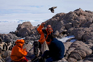 Group of orntithologists monitoring (weighing) Antarctic Skua chick (Stercorarius antarcticus) at Dumont d'Urville Station , Antarctica, January 2013  -  Fred Olivier