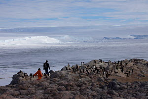Scientists walking in between Adelie penguin (Pygoscelis adeliae) colonies in search of Antarctic Skua chicks (Stercorarius antarcticus) at Dumont d'Urville Station , Antarctica, January 2013  -  Fred Olivier