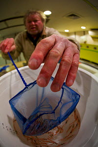 Selecting krill samples (Euphausia superba) from a southern Ocean Trawl onboard icebreaker Aurora Australis  -  Fred Olivier