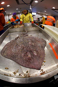 Specimen of Ray captured during a deep water trawl off the coast of Antarctica, Southern Ocean February 2015.  -  Fred Olivier