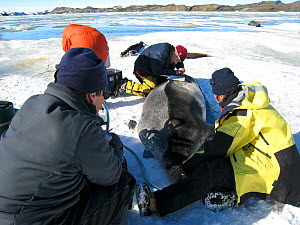 Placement of a tracker on a Weddell seal (Leptonychotes weddellii) in Ellis Fjord, Vestfold Hills, Antarctica, March 2007  -  Fred Olivier