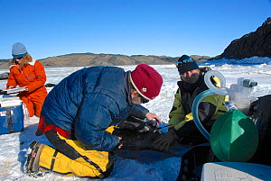 Group of scientists anesthetizing and placing a tracker on a Weddell seal (Leptonychotes weddellii) in Ellis Fjord, Vestfold Hills, Antarctica, March 2007  -  Fred Olivier