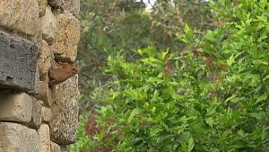 Hoopoe (Upupa epops) emerges from nest hole in wall, France  -  Dave Watts