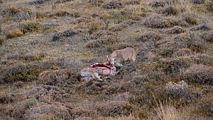 Female Patagonian puma (Puma concolor patagonica) feeding on a Guanaco (Lama guanicoe) carcass, Torres del Paine National Park, Patagonia, Chile, May.  -  Simon Littlejohn