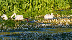 Female European otter (Lutra lutra) and two pups feeding and playing in a river, with three Mute swans (Cygnus olor) feeding in the background, River Stour, Dorset, England, UK, June.  -  Simon Littlejohn