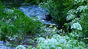 Close-up of a female European otter (Lutra lutra) and two juveniles feeding in a river, River Stour, Dorset, England, UK, June.  -  Simon Littlejohn