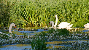 Mute swans (Cygnus olor) hissing and lunging at a European otter (Lutra lutra), River Stour, Dorset, England, UK, June.  -  Simon Littlejohn