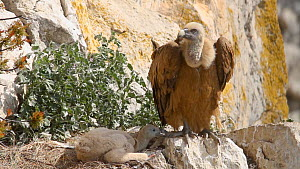 Griffon vulture (Gyps vulvus) chick pecking parent, trying to get attention, Andalusia, Spain, June.  -  Simon Littlejohn
