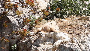 Griffon Vulture chick (Gyps fulvus) thermoregulating in nest, aged 6-8 weeks, Andalusia, Spain, June.  -  Simon Littlejohn