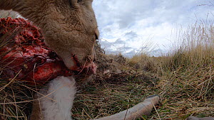 Close-up of a female Patagonian puma (Puma concolor patagonica) feeding on a Guanaco (Lama guanicoe) carcass, filmed with a remote camera, Torres del Paine National Park, Patagonia, Chile, May.  -  Simon Littlejohn