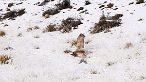 Female Patagonian puma (Puma concolor patagonica) dragging the carcass of a young Guanaco (Lama guanicoe), Torres del Paine National Park, Patagonia, Chile, July.  -  Simon Littlejohn