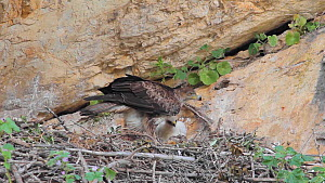 Bonelli's eagle (Aquila fasciata) feeding chick in the nest, Andalusia, Spain, May.  -  Simon Littlejohn