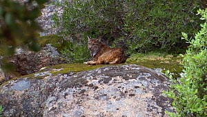 Adult Iberian lynx (Lynx pardel) resting on a boulder and looking around, Sierra de Andujar National Park, Andalusia, Spain, May.  -  Simon Littlejohn