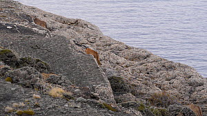 Female Patagonian puma (Puma concolor patagonica) and four cubs walking along the shore of a lake, Torres del Paine National Park, Chile, June.  -  Simon Littlejohn
