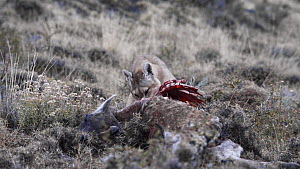 Female Patagonian puma (Puma concolor patagonia) feeding on a Guanaco (Lama guanacoe) carcass, Torres del Paine National Park, Patagonia, Chile, July.  -  Simon Littlejohn