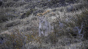 Male juvenile Patagonian puma (Puma concolor patagonia) scratching, before walking off, Torres del Paine NP, Chile, June.  -  Simon Littlejohn