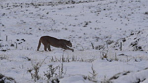 Female Patagonian puma (Puma concolor patagonia) stretching and sharpening claws in snow covered landscape, Torres del Paine National Park, Chile, June.  -  Simon Littlejohn