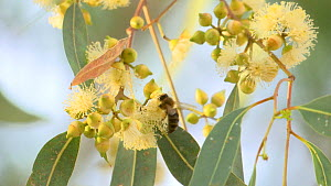 Honey bee (Apis) nectaring from a flowering Eucalyptus tree, Andalusia, Spain, June.  -  Simon Littlejohn