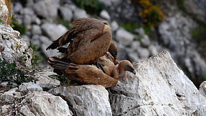Pair of Griffon vultures (Gyps fulvus) mating, Andalusia, Spain, June.  -  Simon Littlejohn