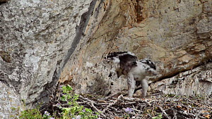 Bonelli's eagle (Aquila fasciata) chick defecating out of nest, Andalusia, Spain, May.  -  Simon Littlejohn