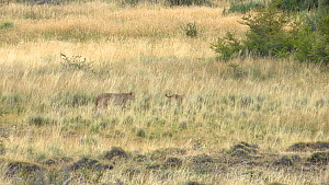 Female Patagonian puma (Puma concolor patagonica) walking through tall grass, with cub running in front of her, Torres del Paine National Park, Chile, June.  -  Simon Littlejohn