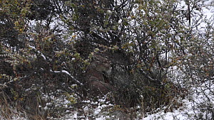 Female Patagonian puma (Puma concolor Patagonia) sheltering from a blizzard in bushes,Torres del Paine National Park, Patagonia, Chile, July.  -  Simon Littlejohn